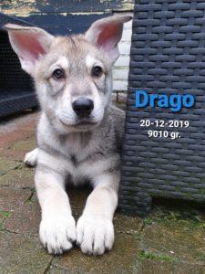 Drago Del Urlando Lupo