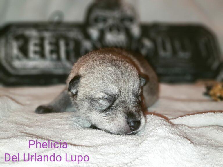 phelicia pup